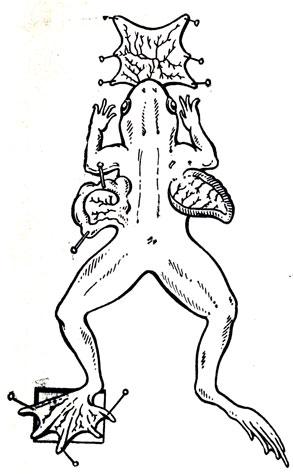 Рис. 30. Фиксация органов лягушки для наблюдения кровообращения под микроскопом
