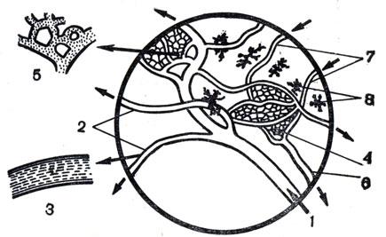 Рис. 31. Микроскопическая картина кровообращения в плавательной перепонке лапки лягушки: 1 - артерия; 2 - артериолы при малом и 3 - при большом увеличении; 4 - капиллярная сеть при малом и 5 - при большом увеличении; 6 - вена; 7 - венулы; 8 - пигментные клетки